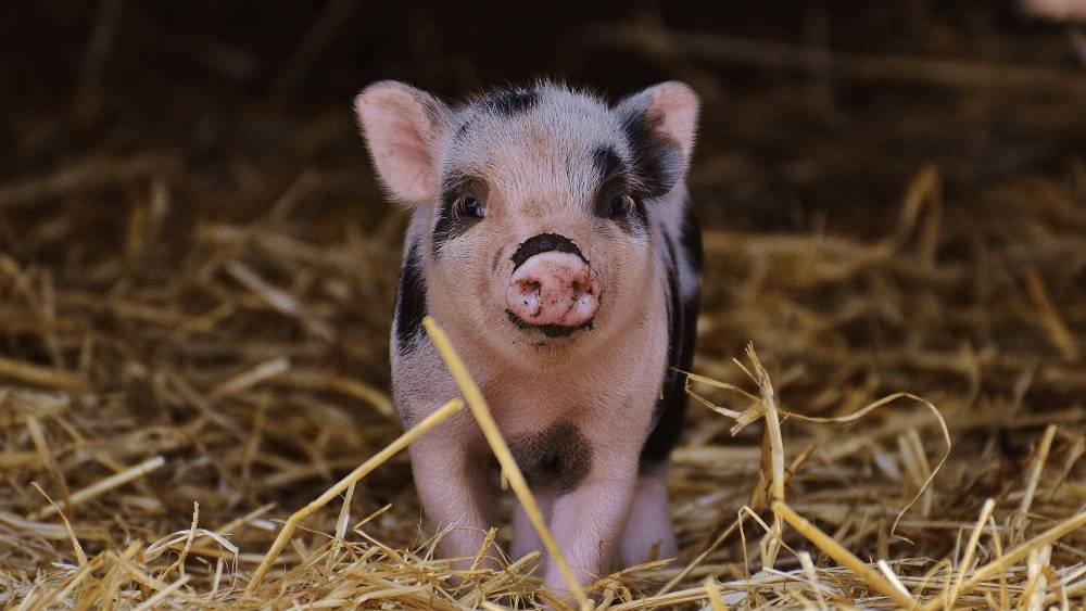 Micro Pig Discipline 101